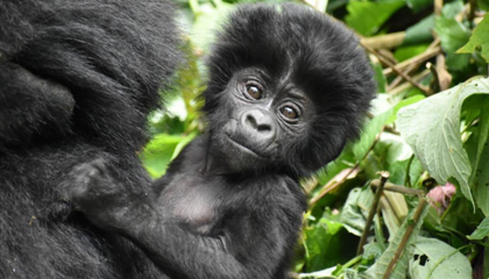 5 Days Gorilla Trekking Safari Randu Safaris Kenya Safari Tours